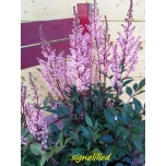"Astilbe ""SMILE AT ME"""