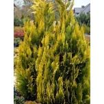 "Kalifornia ebaküpress-Chamaecyparis lawsoniana ""Ivonne""  Signel uus suvi 2020"