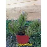 lookjas mägimänd-Pinus mugo var. mughus   Signel uus 2020
