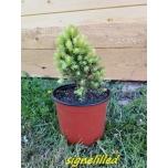 Torkav kuusk -Picea pungens  'Maigold'  Signel uus 2020